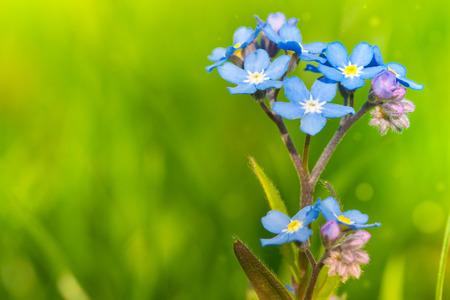 Nomeolvides creciendo en el jardín.