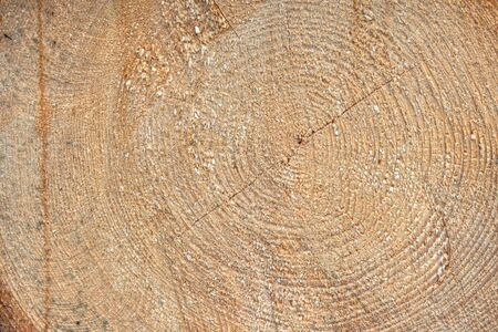 Recently cutted tree trunk. Texture of wood.