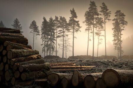 Sunrise over cut down trees. January landscape. Masuria, Poland.