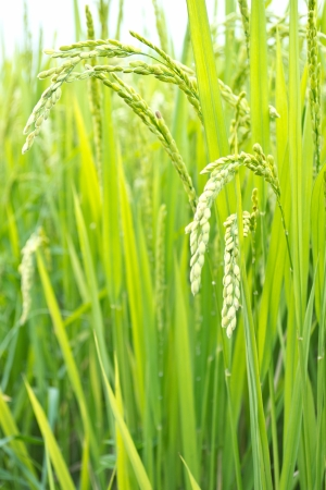 Rice plant in rice field Thailand photo