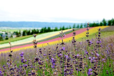 lavender with colorful field