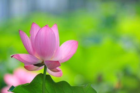 belle lotus