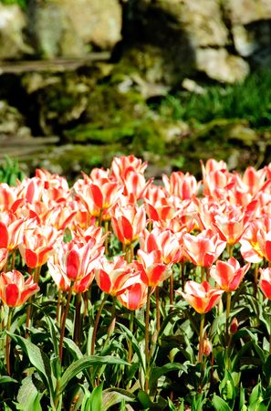 red with white tulips in Keukenhof park of Netherlands