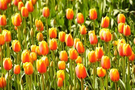 orange tulips in Keukenhof park of Netherlands