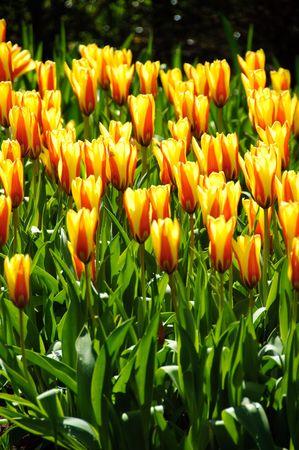 jaunes des tulipes au parc Keukenhof des pays-bas