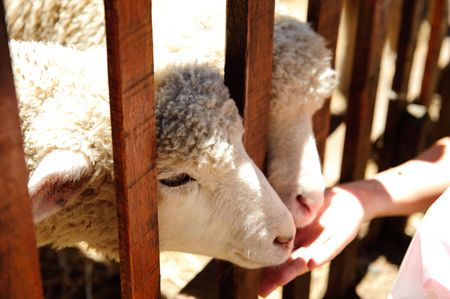 two sheeps are fed by visitor  Stock Photo
