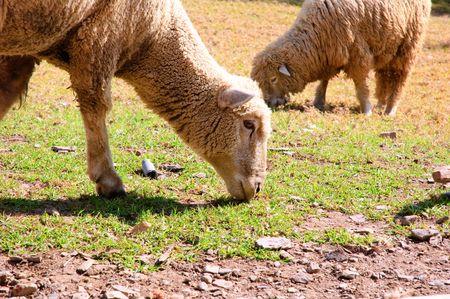 sheeps eating grass