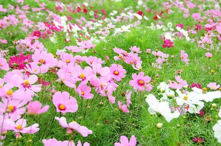 champ Coreopsis Hokkaido au Japon