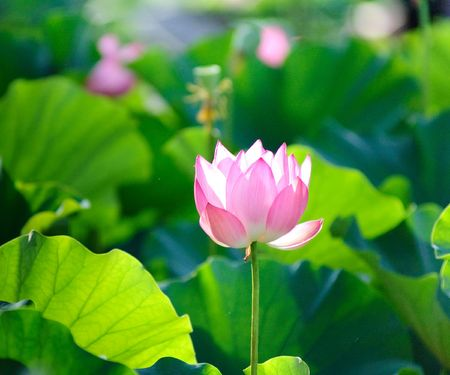 Single lotus in front of leaves  Stock Photo