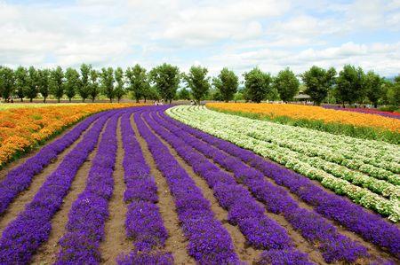 colorful cloudscape:  flower field in Hokkaido in Japan