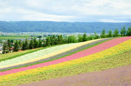 colorful flower field in the japan  photo
