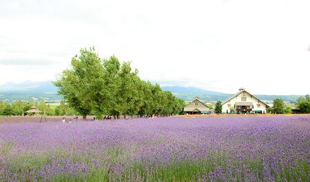 lavender field and farmhouse Stock Photo