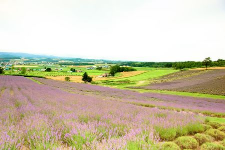 lavender field and meadow