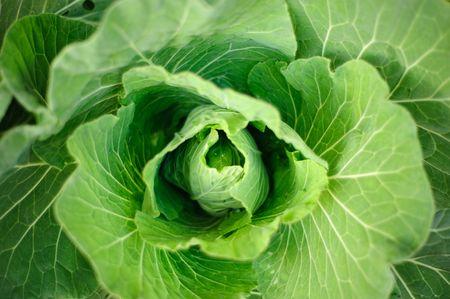 frais vegatable, chou