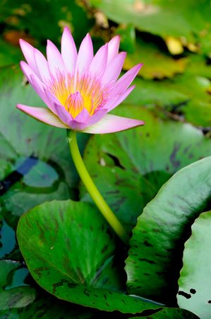 pond lily in the pond Stock Photo