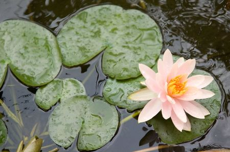 pond lily in the pond Banque d'images
