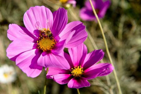 pink cosmos and bee Stock Photo - 6237009