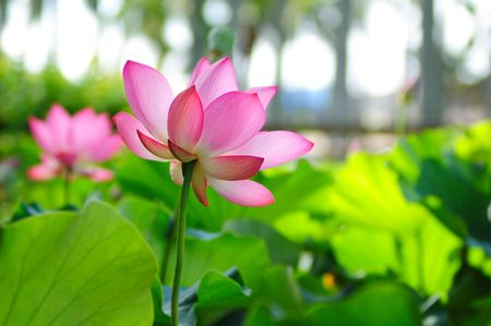 beautiful pink lotus with background of green leaf
