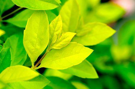 young leaf: hoja joven  Foto de archivo