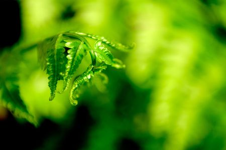 shoot of fern Stock Photo - 6486972