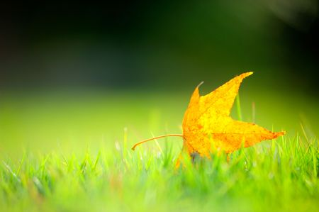 a maple leaf on the grass