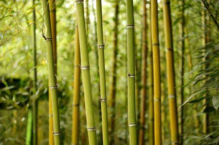 for�t de bambou