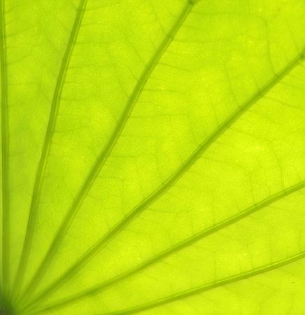 lotus leaf in closeup view