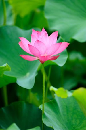 single beautiful lotus in the pond