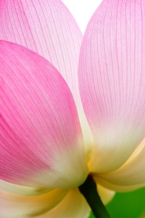 single closeup beautiful lotus in the pond Stock Photo