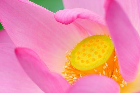 single beautiful lotus in the pond