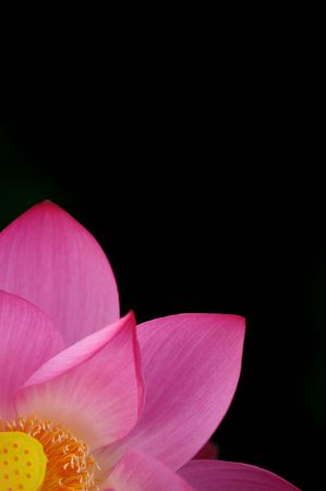 single beautiful lotus in black background Stock Photo