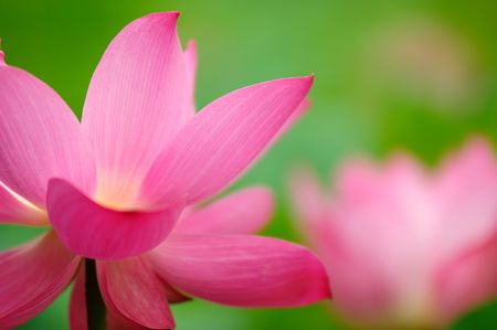 single beautiful lotus in the pond photo