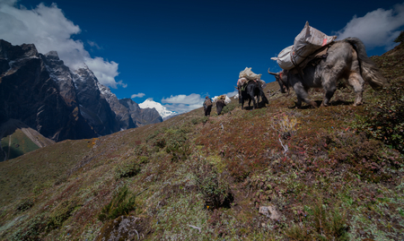Yaks walk on the mountains on the east slope of Mount Everest