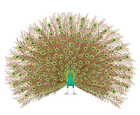 Beautiful peacock spreading its tail. Isolated On White Background. Vector illustration. Vettoriali