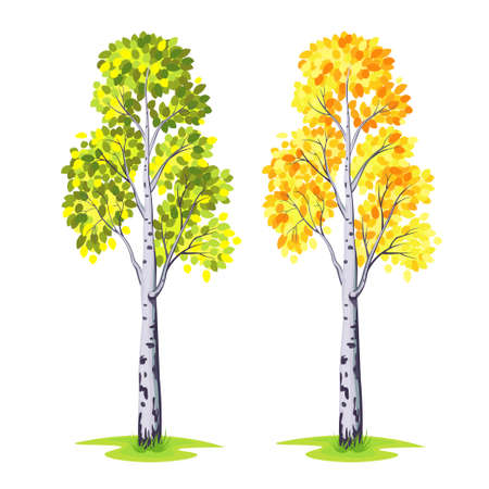 Tree birch on white background.Vector illustration.