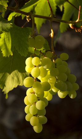 horticultural: Bunch of ripe grapes illuminated by the rising sun Stock Photo