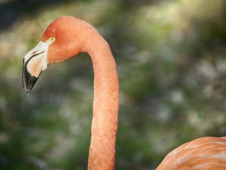 Phoenicopterus ruber, Caribbean Flamingo or Red Flamingo