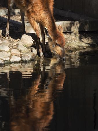 Sitatunga Antelope of practically amphibious customs Stock Photo