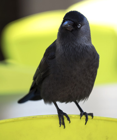 Big adult australian crow is a black bird with a white iris