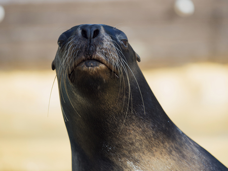 The California Sea Lion (Zalophus californianus) is a species of pinniped mammal