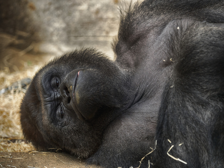 Gorillas are the largest of the living primates.