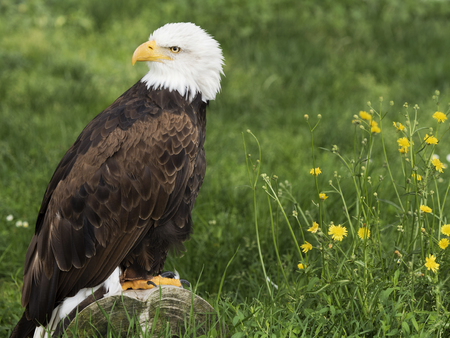 Bald  Eagle famous for being the national symbol of the United States Stock Photo