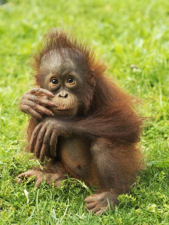 Pequeño perrito del orangután que se sienta en la hierba Foto de archivo - 81282030