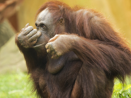 ponderous: Orangutan lives in the low jungles of Sumatra and Borneo