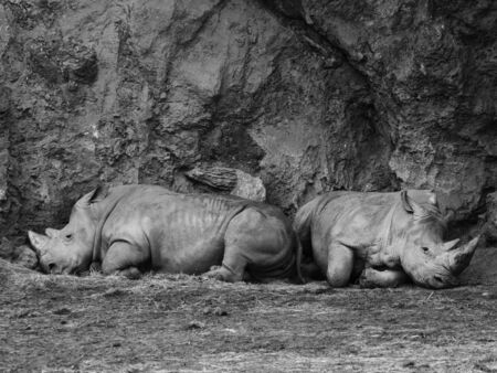 Couple of two white profile rhinos lying on the ground resting