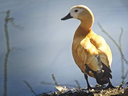 Jar canelo (Tadorna ferruginea) anatida with an intermediate bearing between duck and goose