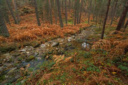 Valsain forests on the northern slope of the Sierra de Guadarrama crowned by the ports of Navacerrada and Fuenfría, Segovia, Madrid. Spain