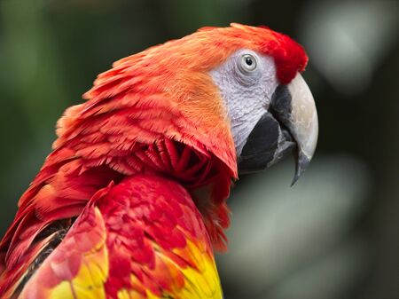 Red Macaw of the Parrot family, This species is distributed in wide range throughout South America