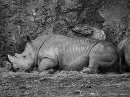Profile of a White Rhinoceros lying on the ground resting