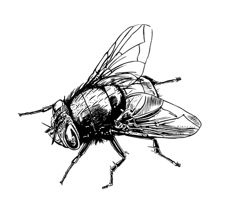 Realistic tsetse fly, graphic drawing Vector illustration.